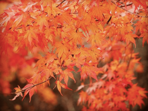 愛知 茶臼山 紅葉